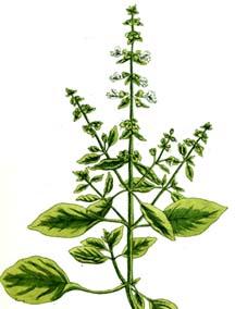 Ocimum-basilicum en couleur
